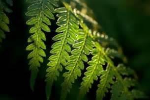 plantzee information on tree fern