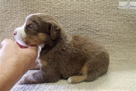 australian shepherd puppies in michigan australian miniature sale shepherd australian michigan shepherd breeds picture