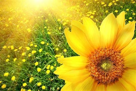 girasole fiore significato significato fiori girasole significato fiori fiori