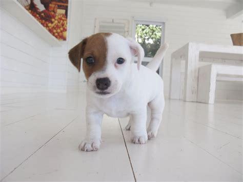 imagenes of jack russell mejores 26 im 225 genes de jack rusell terrier en pinterest