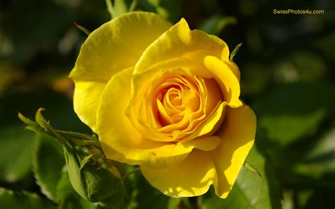 free wallpaper yellow roses free yellow rose wallpaper wallpapersafari