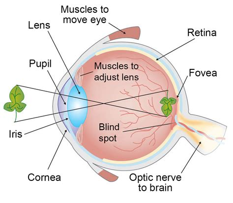 what part of the eye has color how vision works our sense of sight ask a biologist