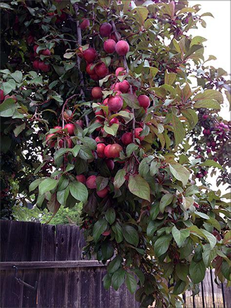 cherry tree jams cherry plum jam jelly foodiddy