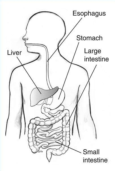 blank digestive system diagram digestive system blank diagram for science