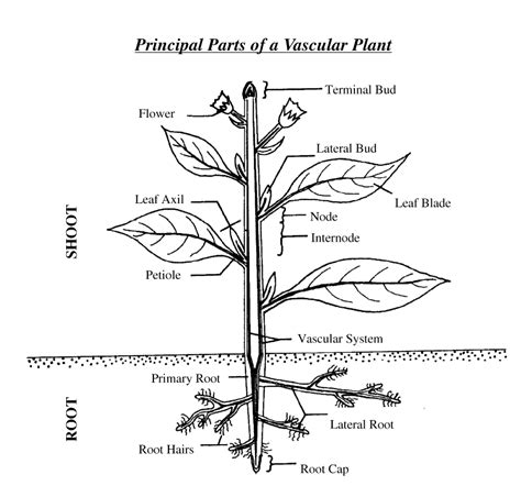 diagram of parts of a plant principal parts of a vascular plant diagrams for