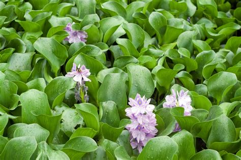 managing water hyacinths how to control water hyacinth in ponds