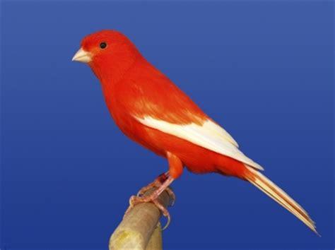imagenes de alas blancas alas blancas rojo intenso alas blancas fotosdecanarios com
