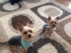 first yorkie hair cuts 1000 images about tyson on pinterest yorkie first