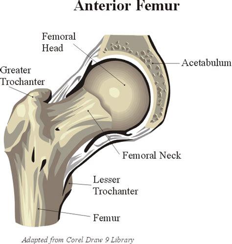 hipbone section hip anatomy