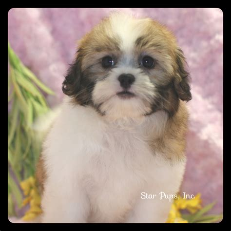 chocolate and white shih tzu shih tzu f chocolate white sold pups