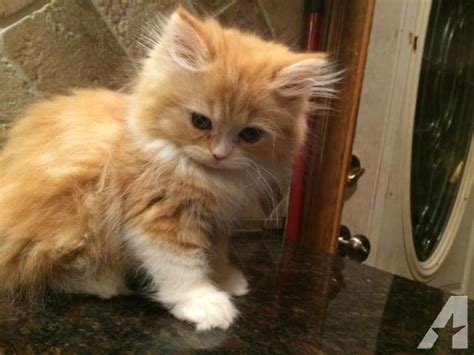 Himalayan Maine Coon himalayan and maine coon kittens for sale in