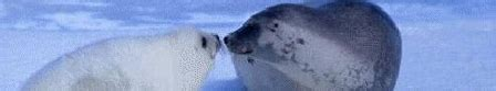 Nigel Barkers Saving Baby Seals While Waiting For His Own by Wfl Endangered Live Save The Baby Seals