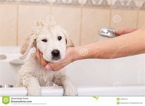 How Does A Puppy To Be To Shower by Golden Retriever Puppy In Shower Stock Photo Image 47966715