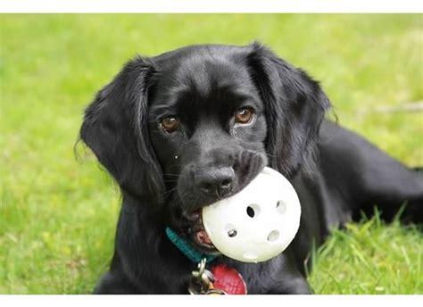 spanador puppies spanador spaniel and black lab him dogs spaniels him