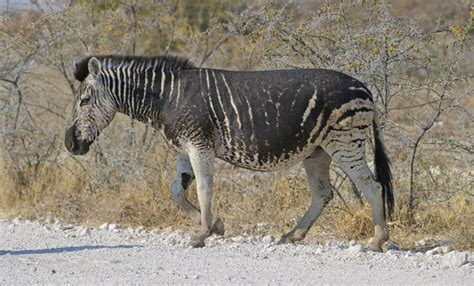 zebra pattern on camera pictures rare black zebra with no stripes caught on