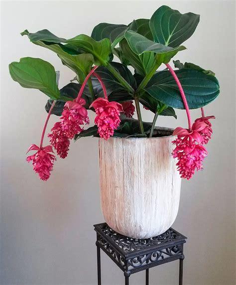 buy house plants  medinilla magnifica flamenco