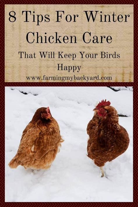 8 Tips On Caring For Chickens backyard chicken care audidatlevante