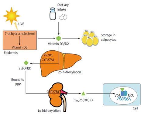 uvb l vitamin d vitamin d deficiency in chronic liver disease