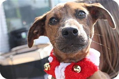 dachshund puppies raleigh nc rocky adopted raleigh nc dachshund boxer mix