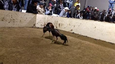 videos de gallos las peleas mas rpidas peleas de gallos de cuarto de redonda la pelea m 225 s r 225 pida