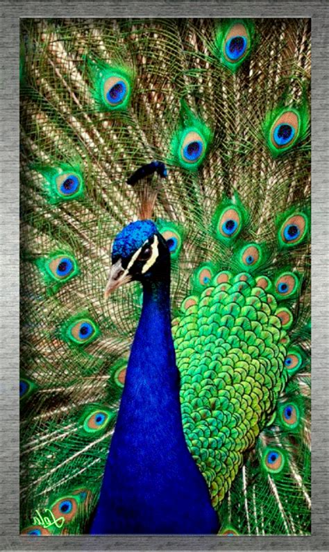 www miraculos de pavo real www miraculos de pavo real hermoso pavo real 173 new