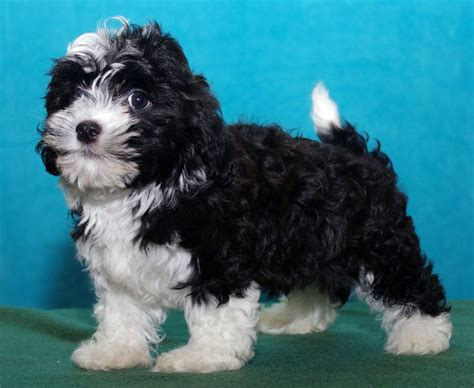 havanese do they shed 593 best havanese if you images on
