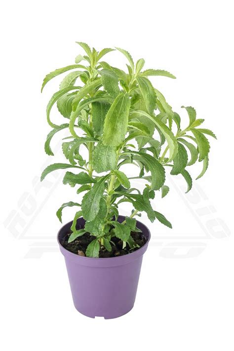 stevia coltivazione in vaso pianta di stevia coltivazione e propriet 224 azienda