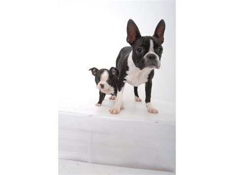 boston terrier puppies for sale in illinois puppies for sale boston terrier boston terriers bostons f category in