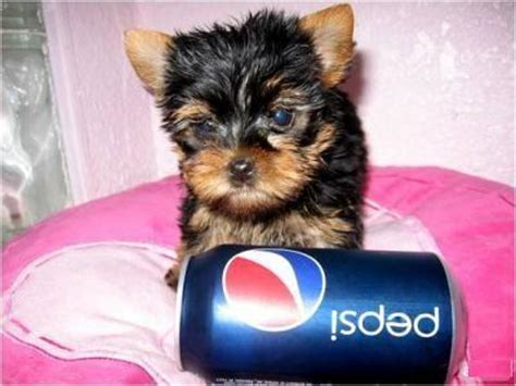 teacup yorkie toronto adorable and teacup yorkie available toronto dogs for sale puppies