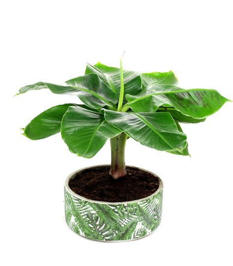 pianta di banana in vaso pianta di banano in ciotola scegli tra le nostre piante