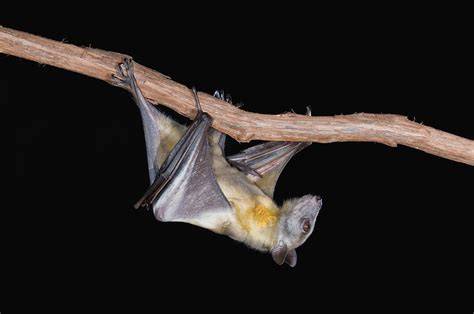 why bats are such good hosts for ebola and other deadly