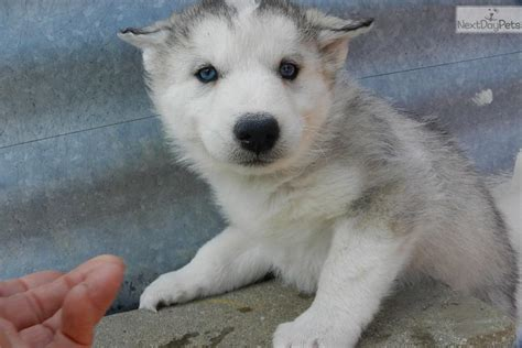 grey husky puppies grey husky puppy www imgkid the image kid has it