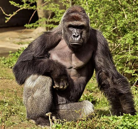 Zookeeper Finally Explains What Harambe Was Actually Doing