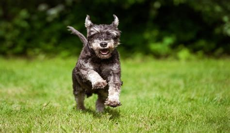 what s the best puppy food what s the best food for miniature schnauzers herepup