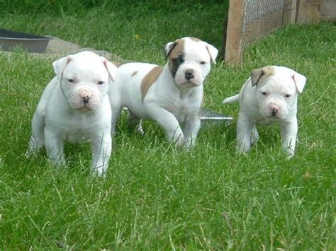 american bulldog puppies all about animal wildlife american bulldog puppies images
