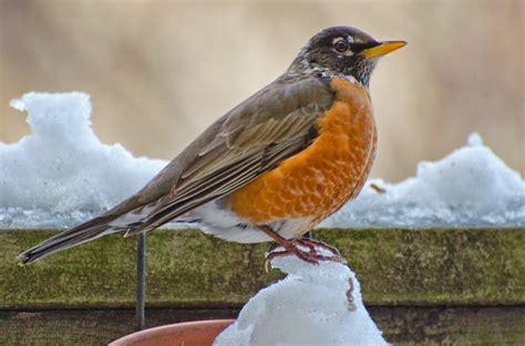 urban wildlife guide winter robin
