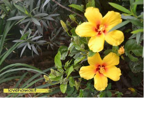 fiore di ibisco ibisco il fiore ufficiale delle hawai i hawai i