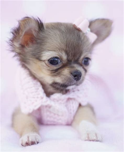 haired chihuahua puppies for sale in pa 25 b 228 sta baby puppies for sale id 233 erna p 229 hundar och valpar