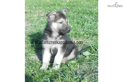 raising german shepherd puppies german shepherds raising german shepherd puppies germn breeds picture