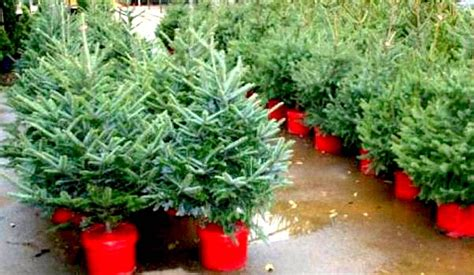 potted live christmas trees in san diego live potted trees for sale 100 images potted live trees redrock farm rent live tree san