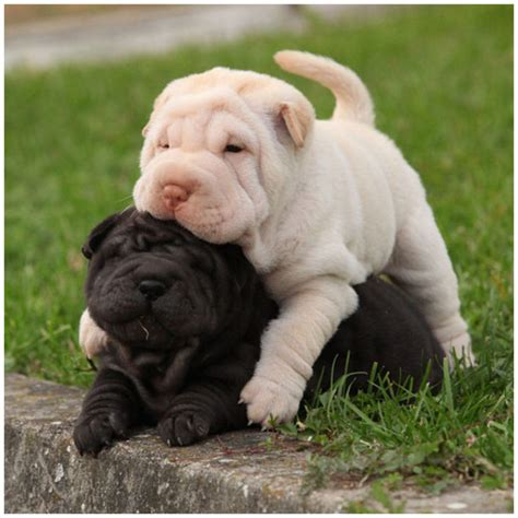 Shar Pei Shed shar pei breeders facts pictures puppies rescue