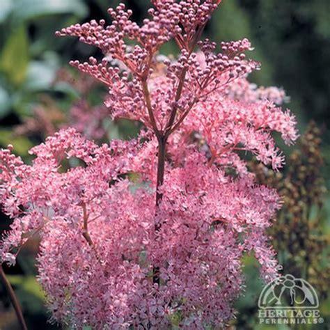 Garden Landscaping Ideas filipendula rubra venusta also called martha washington