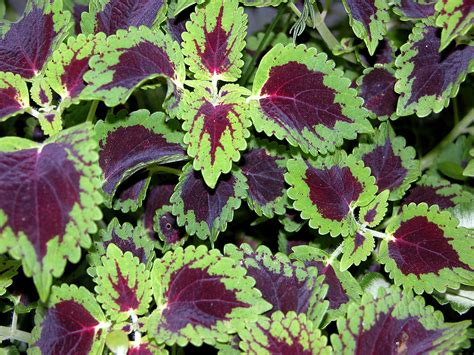 colorful shade plants plant some of these for great garden color even