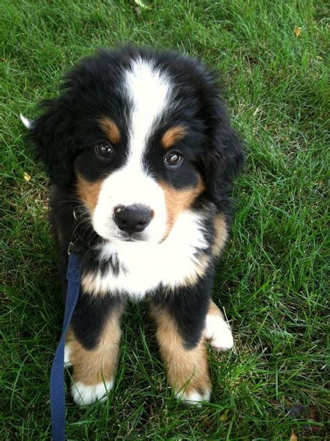bernese mountain puppy 17 best images about doggies on king shepherd and huskies puppies