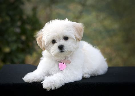 white puppy white breeds hd wallpaper animals wallpapers