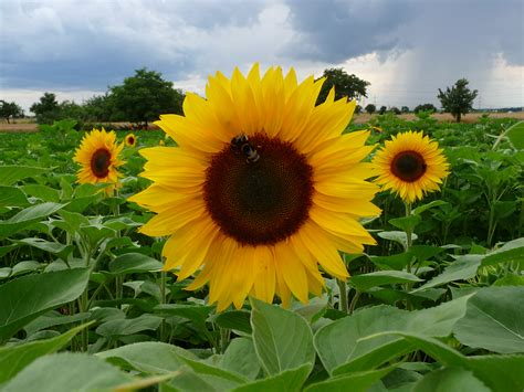 pflanzen le cultivated sunflowers and their relatives awkward