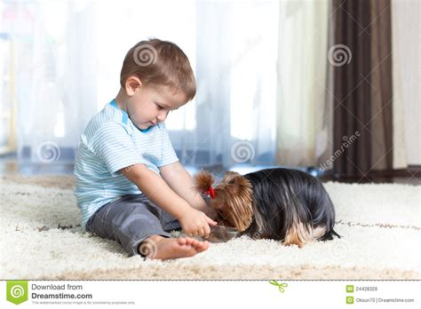 feeding yorkie puppies child feeding terrier at home royalty free stock images image 24428329
