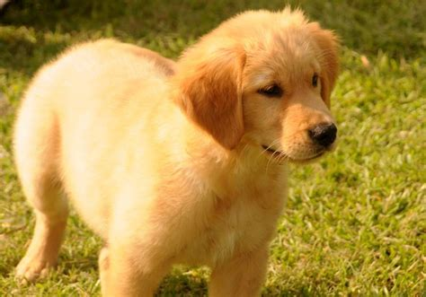 golden retriever puppies wa view ad golden retriever puppy for sale washington seattle usa