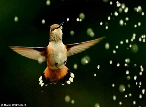 hummingbird family drink from sprinkler in photographer s