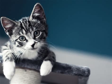 cat wallpaper macbook cute baby cat wallpaper mac wallpaper download free mac